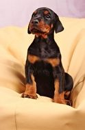 portrait of a doberman puppy