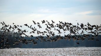 flock of flying wild geese