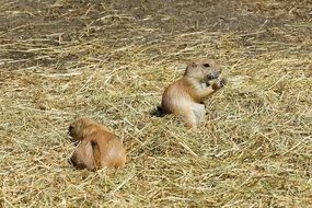 prairie dogs on dry grass
