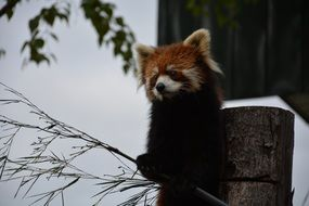 Red raccoon in zoo, japan, asahikawa