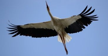 Stork Bird Flying in blue sky