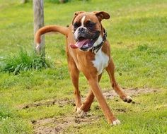 Boxer Dog playing on green grass
