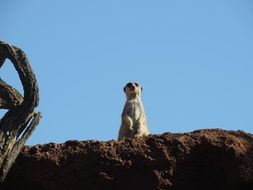meerkat is standing on a hill