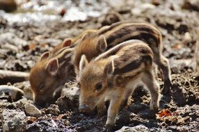 two little pigs rummaging in the ground