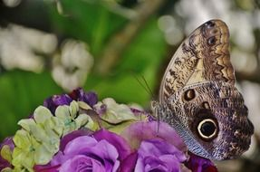 Owl Butterfly sitting on a flowers