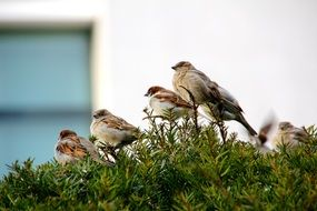 Sparrows on the tree
