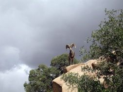 bighorn sheep stands on a steep rock