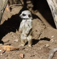 meerkat baby stands near the stone