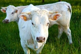 white cattle on a green pasture