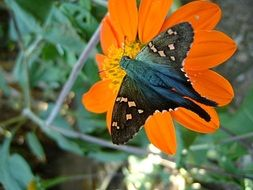blue butterfly on an orange flower