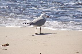 Seagull on the beach of North Sea