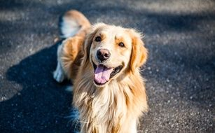 Animal portrait of golden retriever