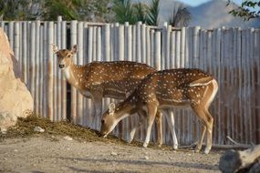 Deers near the fence