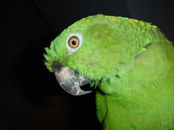 green amazone parrot on the black background