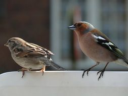 perched sparrow and chaffinch