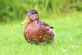 brown duck on green grass close up