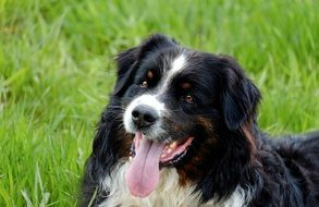 cute Australian Shepherd Dog