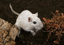 white mouse in wildlife