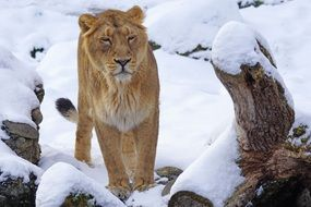 Indian lion in the snow in the winter