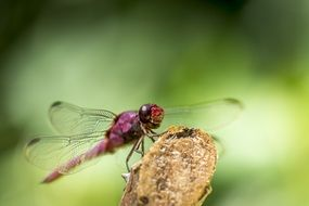 pink Dragonfly insect macro