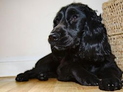 black Cocker Spaniel S Dog