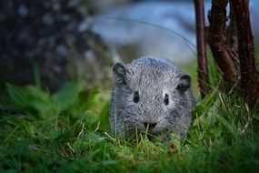 silver guinea pig on the green grass