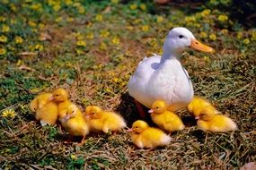 white duck and yellow ducklings in the meadow