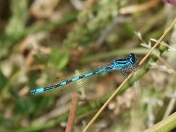 blue Dragonfly Winged Insect