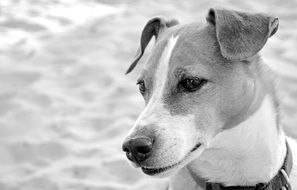 black and white portrait of a spotted dog