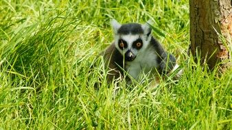 lemur hiding in grass