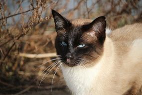 siamese cat with sky blue eyes