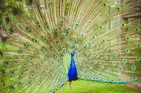 peacock with expanded tail
