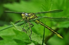 Green Dragonfly Macro Insect Water
