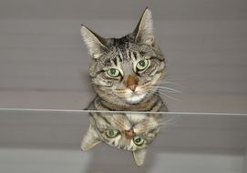 gray domestic cat is reflected in the mirror