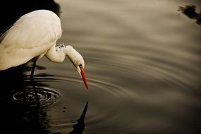 egret on the water