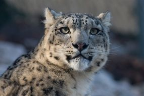 spotted snow leopard in the wild