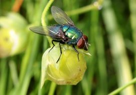 Bluebottle Fly outdoors macro