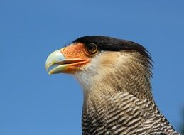 Caracara in Central America