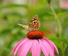 Colorful Butterfly on Pink bloom