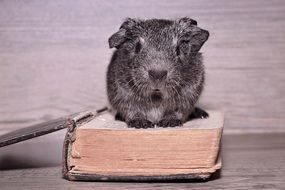 guinea pig sits on an old book on the table