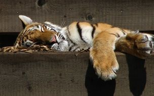 cute predatory tiger sleeping in a zoo