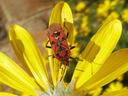 red bug on the yellow daisy