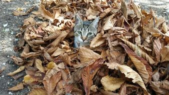 gray cat in dry fall foliage