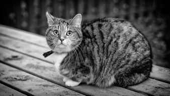 black and white photo of a domestic tabby cat sitting on a bench