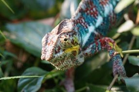 spotted colorful chameleon in the grass