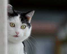 curious black and white domestic cat