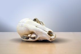 animal skull on the table