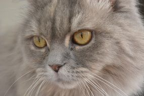 gray fluffy cat close-up