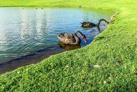 graceful black swans on the lake