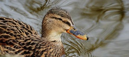 duck with wild plumage